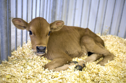 Calf bedding can be untreated wood chips, shavings, sawdust, straw, or shredded paper